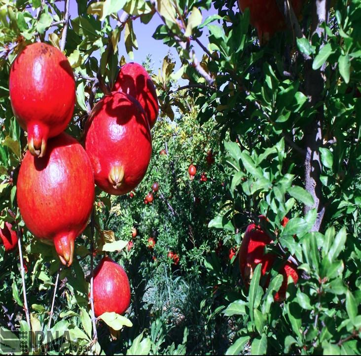 Saveh Pomegranate Farms -